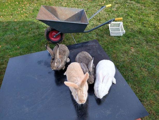 Królik króliki sprzedam