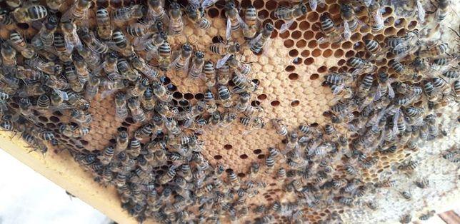 Odkłady pszczele na ramce wielkopolskiej z młodą matką.