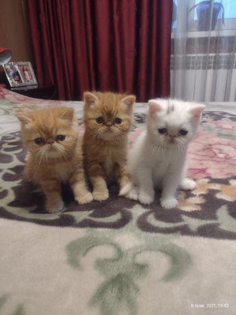 Продаются котята породы Экзотическая короткошёрстная