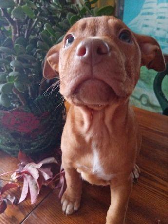 Продам щенка питбуля, реднаус