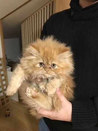 Gato, Gatinho laranja tigrado
