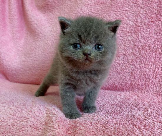 Сладкие голубые Шотландские котята