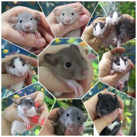 Крыски крысята Дамбо и др 1 мес крысы крыса