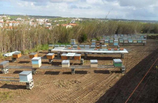 Весной 2021г. F1 Пчелиные матки От селекционных маток Carnica-Карника