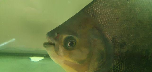 """Peixe de água quente """"PACU XXL"""""""