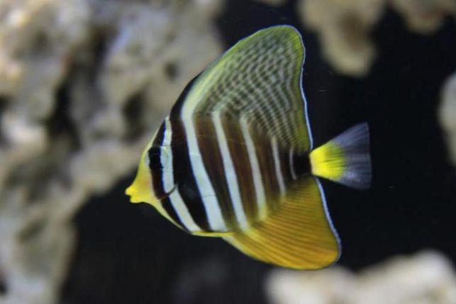 Akwarium morskie - Zebrasoma veliferum