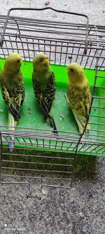 Sprzedam młode papugi faliste