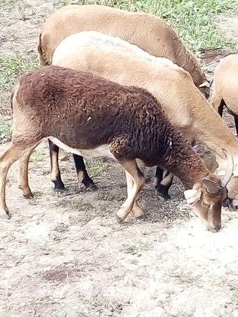 Ovelha fêmea com 2 anos