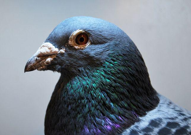 Gołębie pocztowe! DOSKONAŁE