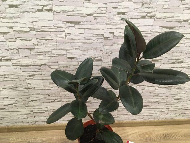 Фикус. Достойное растение для офиса.