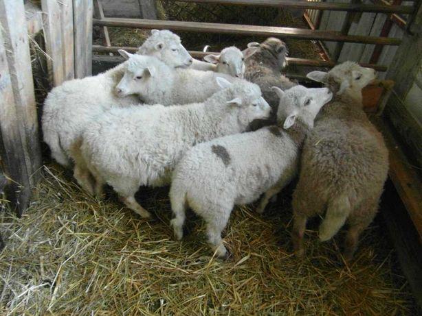 Miłe i spokojne owieczki, baranki.