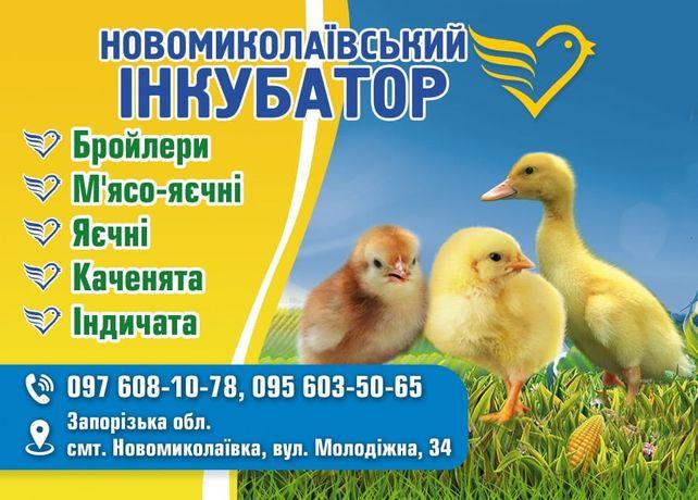 цыплята Кобб 500 и Росс 308