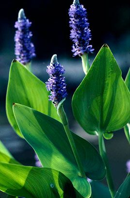 Pontederia Cordata - Planta para Lago