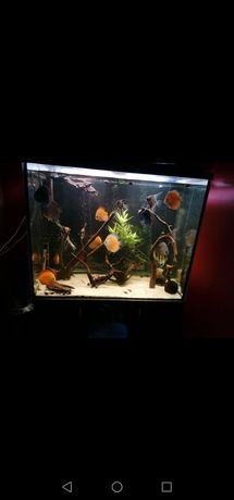 Akwarium 400 l paletki dorosłe pary