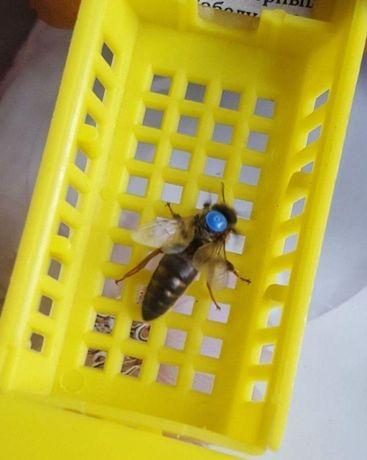 Плідна Карника (Carnica) Штамм Скленар Бджолина матка