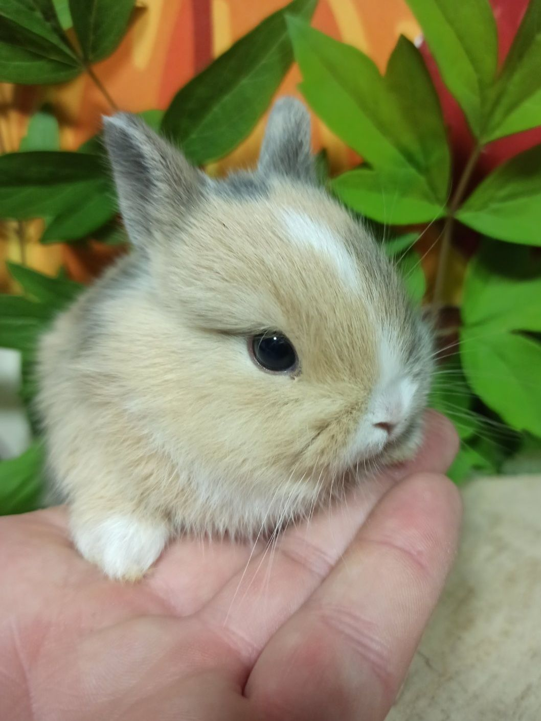 Питомник карликовых кроликов Bamby