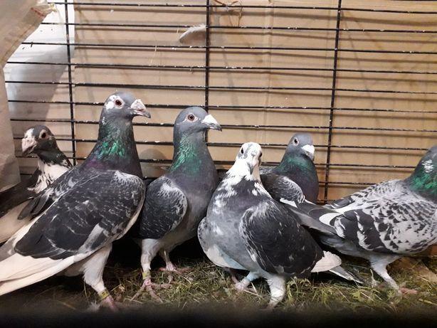 Gołębie Staropolskie samice