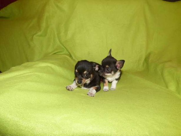 Dwa pieski  Chihuahua