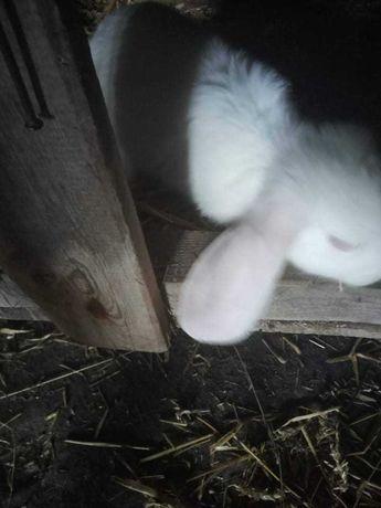 Biały baran królik Samica