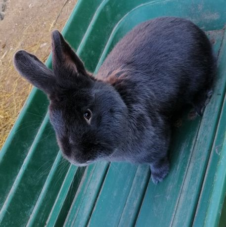 Młode króliki rasy wiedeńskiej, WN wiedeński niebieski samiczki
