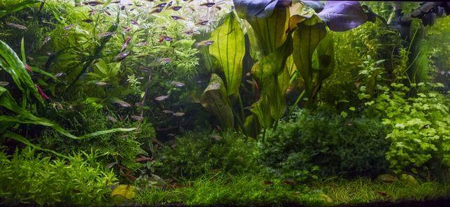 Łatwe rośliny akwariowe - superzestaw na 3 plany + mchy + epifit!