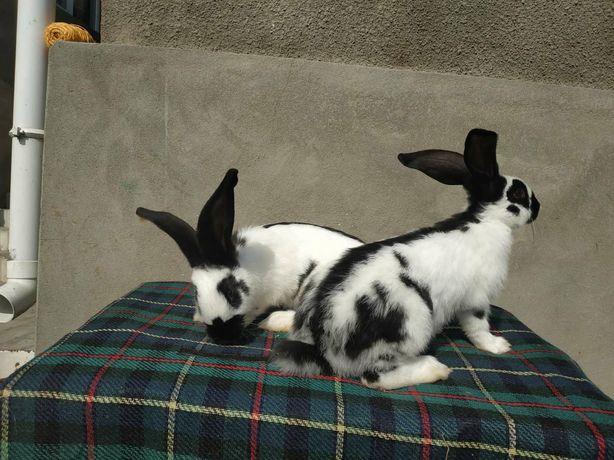 Кріль кролі породи Строкач віком 2.5 міс