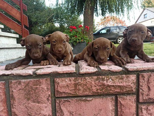 Pies Pitbull Red Nose szczeniak szczeniaki rodowód