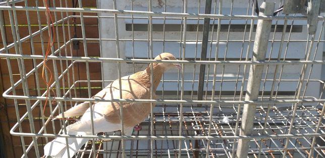 Gołębie żółte pocztowe samiczka