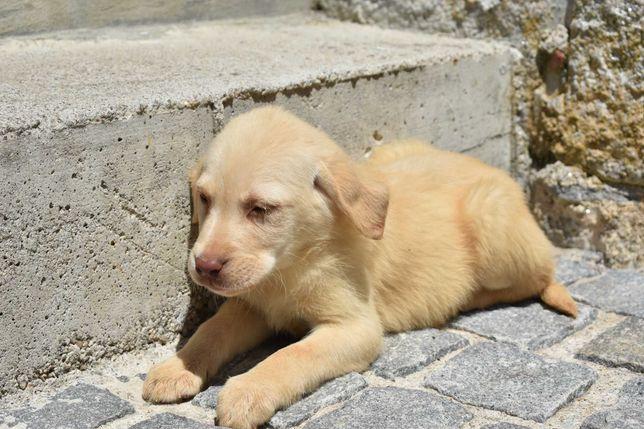 Labrador bege macho de grande porte