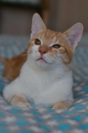 рудо-білий котичок в плюшевій шубці 5м
