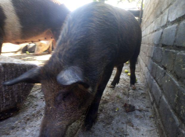 Свині кабан поросята