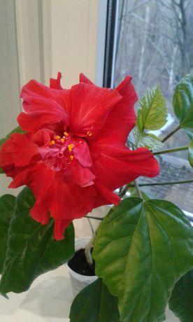Китайская роза.(Гибискус)