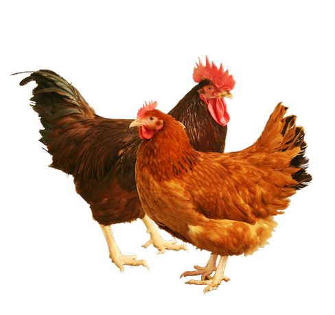 Kurki kokoszki kurczaki młode kury nioski , brojlery , młode kaczki
