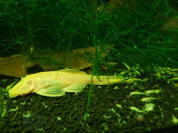 Ancistrus Gold Albinos