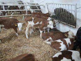Jałoszki i byczki mięsne