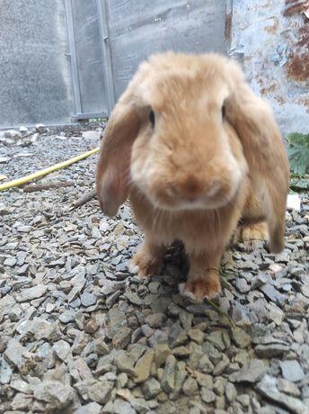 Кролик помесь французского барана и калифорнии