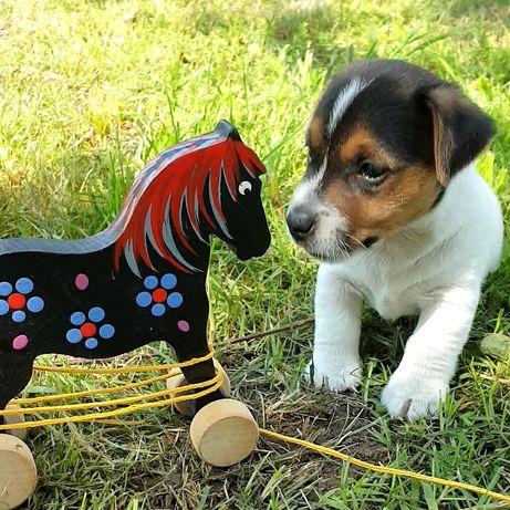 Szczenięta Jack Russell Terrier