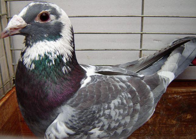 gołębie pocztowe samiec Dv. Okaz!