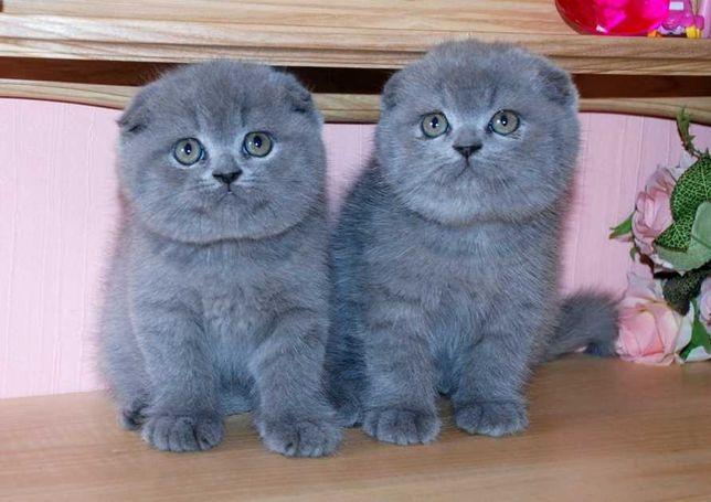Котята голубые вислоухие