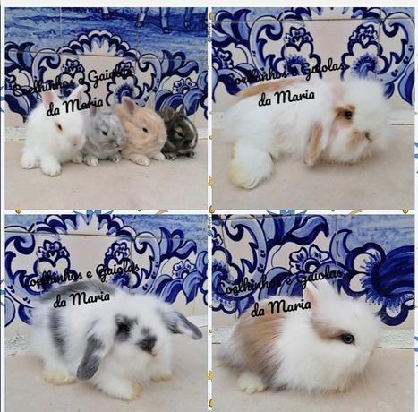KIT Coelhinhos Anões, Mini Toy, Mini Holandêz, Tedy, Mini Lop Belier