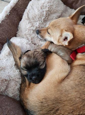 Пушистая щенок-девочка маленькой собачки.