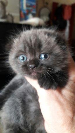 Котенок по имени Гав.Чернобурый голубоглазик