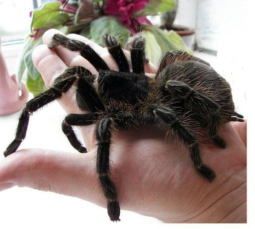 Lasiodora parahybana самец паука птицееда для новичков огромный вид