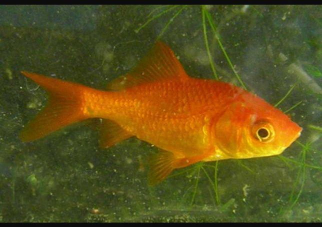 Vendo peixes de lago