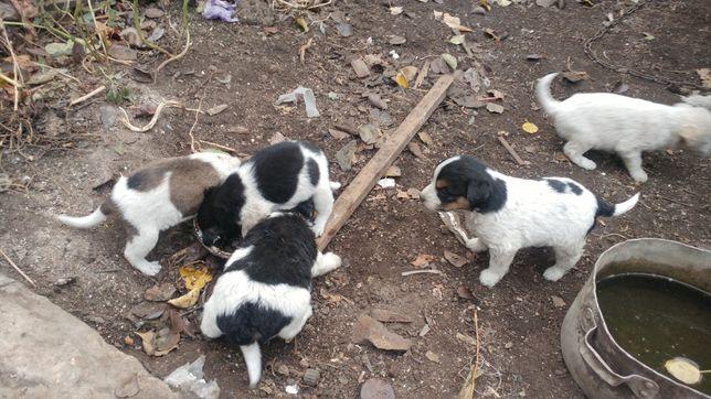 Щенки от дворовой собаки