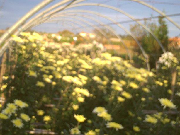 flores \crisantemos para os fieis