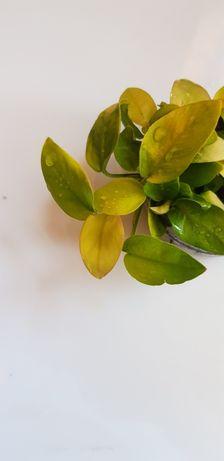 Anubias nana Gold / Rośliny akwariowe