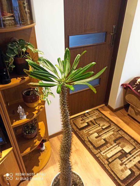 Kaktus palma madagaskaru