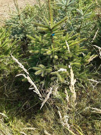 Świerk srebrny, świerk kłujący (Picea pungens)