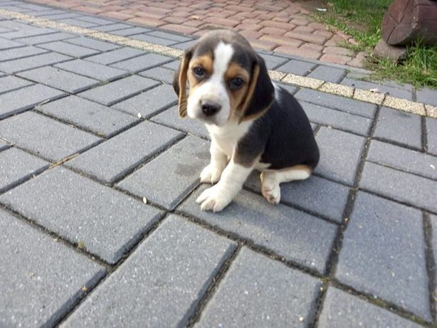 Beagle szcenieta piesek, pieski